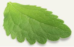Foglia pianta di Stevia